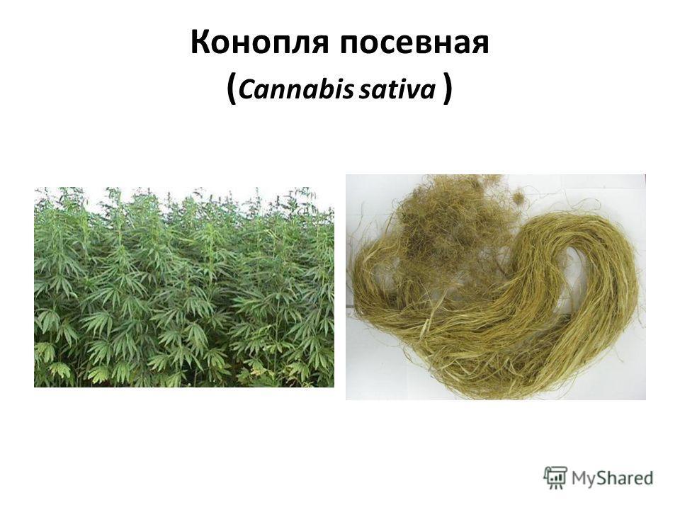 Конопля посевная ( Cannabis sativa )