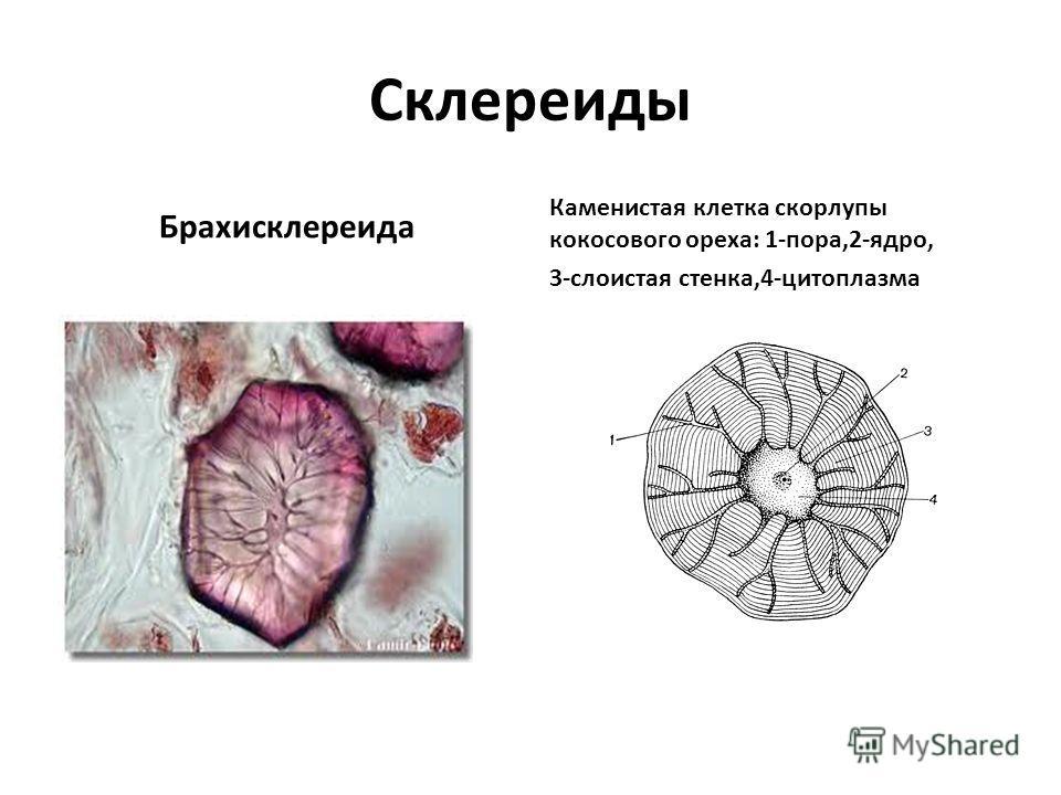 Склереиды Брахисклереида Каменистая клетка скорлупы кокосового ореха: 1-пора,2-ядро, 3-слоистая стенка,4-цитоплазма