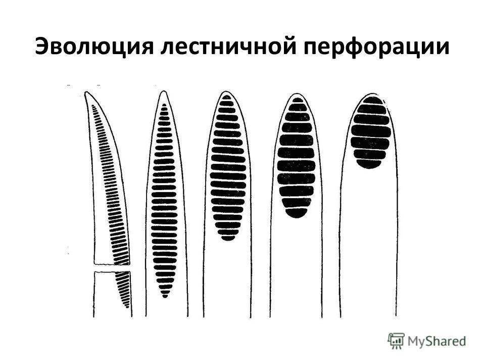 Эволюция лестничной перфорации