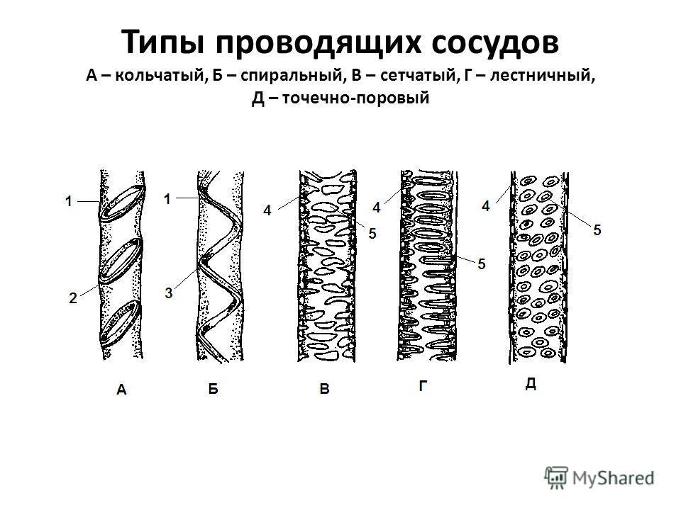 Типы проводящих сосудов А – кольчатый, Б – спиральный, В – сетчатый, Г – лестничный, Д – точечно-поровый