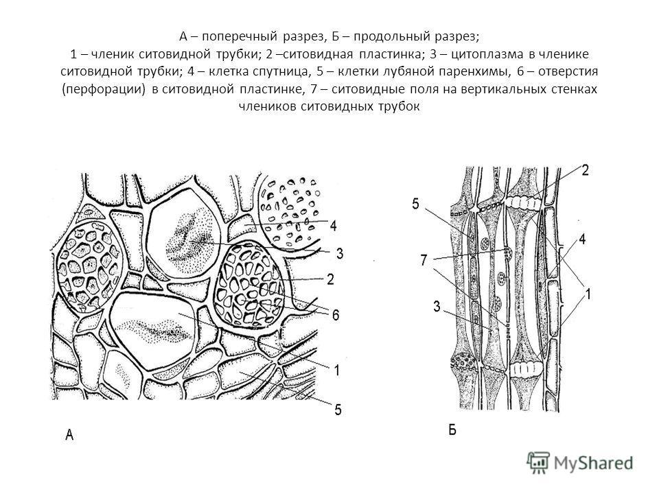 А – поперечный разрез, Б – продольный разрез; 1 – членик ситовидной трубки; 2 –ситовидная пластинка; 3 – цитоплазма в членике ситовидной трубки; 4 – клетка спутница, 5 – клетки лубяной паренхимы, 6 – отверстия (перфорации) в ситовидной пластинке, 7 –
