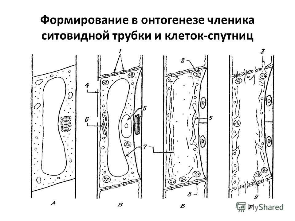 Формирование в онтогенезе членика ситовидной трубки и клеток-спутниц