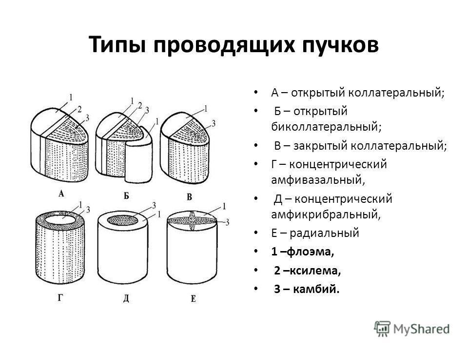 Типы проводящих пучков А – открытый коллатеральный; Б – открытый биколлатеральный; В – закрытый коллатеральный; Г – концентрический амфивазальный, Д – концентрический амфикрибральный, Е – радиальный 1 –флоэма, 2 –ксилема, 3 – камбий.