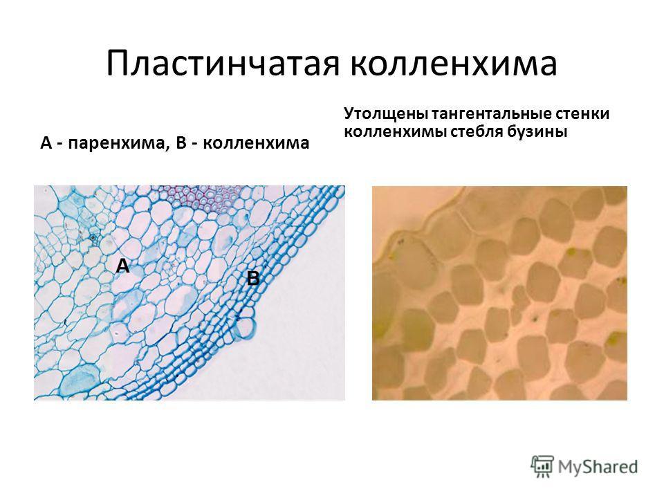 Пластинчатая колленхима А - паренхима, В - колленхима Утолщены тангентальные стенки колленхимы стебля бузины