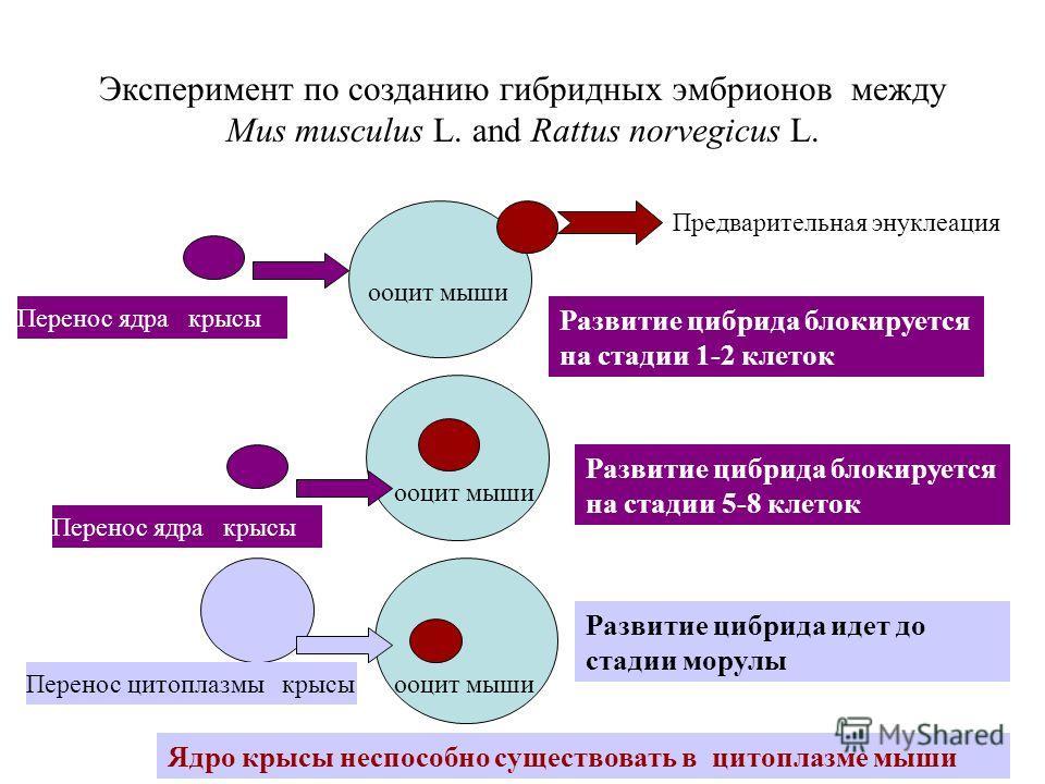 Эксперимент по созданию гибридных эмбрионов между Mus musculus L. and Rattus norvegicus L. Предварительная энуклеация Перенос ядра крысы ооцит мыши Развитие цибрида блокируется на стадии 1-2 клеток ооцит мыши Развитие цибрида блокируется на стадии 5-