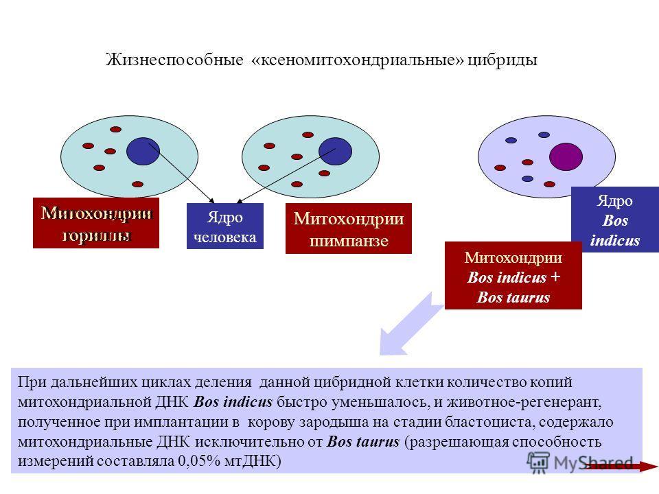 Жизнеспособные «ксеномитохондриальные» цибриды Ядро человека Митохондрии гориллы Митохондрии шимпанзе Митохондрии гориллы Ядро Bos indicus Митохондрии Bos indicus + Bos taurus При дальнейших циклах деления данной цибридной клетки количество копий мит