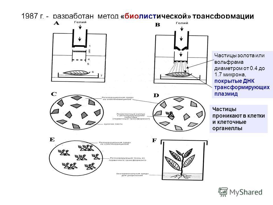 1987 г. - разработан метод «биолистической» трансформации включающего биологические и баллистические приемы Частицы золота или вольфрама диаметром от 0.4 до 1.7 микрона, покрытые ДНК трансформирующих плазмид Частицы проникают в клетки и клеточные орг