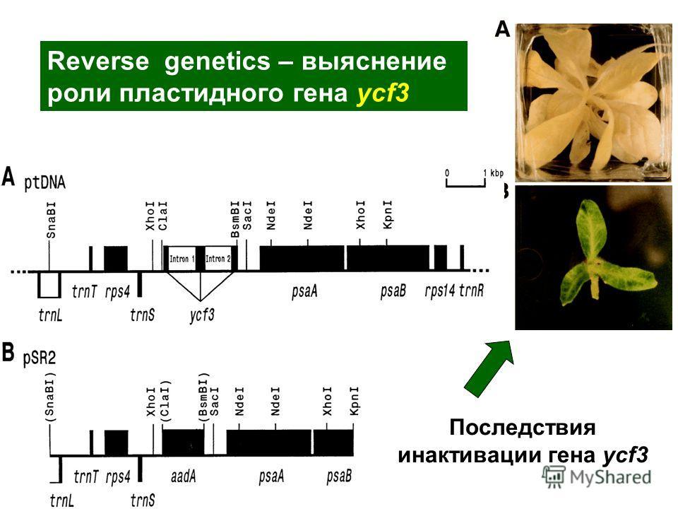 Последствия инактивации гена ycf3 Reverse genetics – выяснение роли пластидного гена ycf3