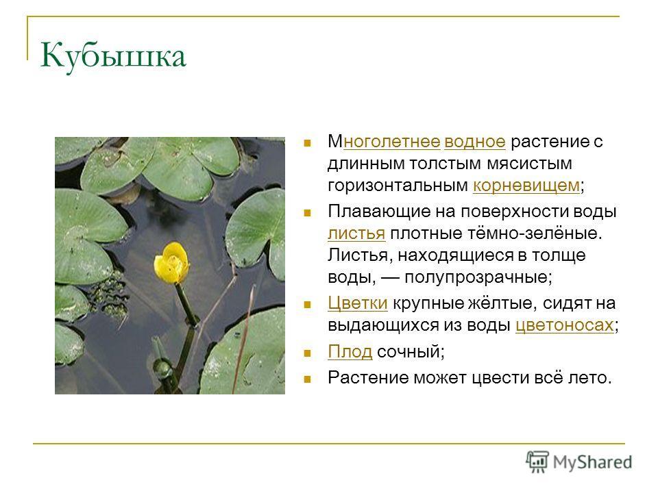 Кубышка Многолетнее водное растение с длинным толстым мясистым горизонтальным корневищем;ноголетнееводноекорневищем Плавающие на поверхности воды листья плотные тёмно-зелёные. Листья, находящиеся в толще воды, полупрозрачные; листья Цветки крупные жё