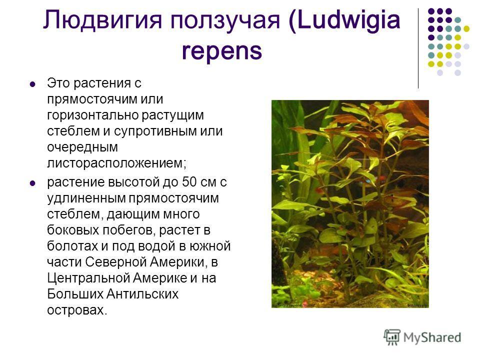 Людвигия ползучая (Ludwigia repens Это растения с прямостоячим или горизонтально растущим стеблем и супротивным или очередным листорасположением; растение высотой до 50 см с удлиненным прямостоячим стеблем, дающим много боковых побегов, растет в боло