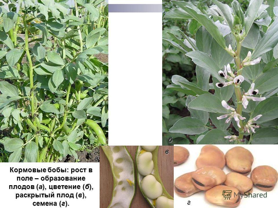 Кормовые бобы: рост в поле – образование плодов (а), цветение (б), раскрытый плод (в), семена (г). а б в г