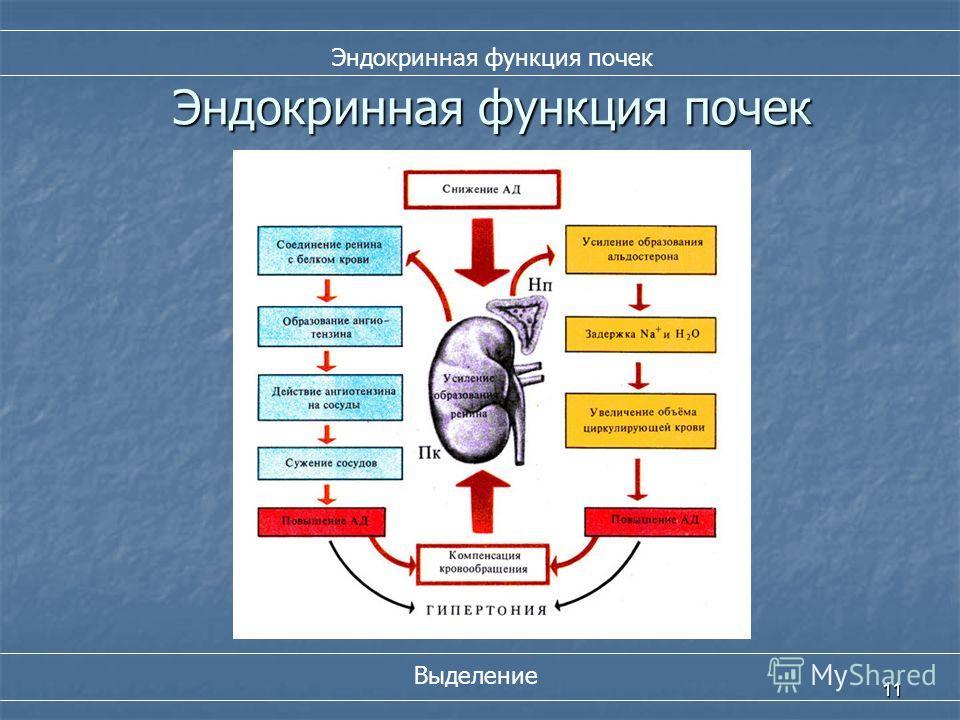 11 Эндокринная функция почек Выделение Эндокринная функция почек