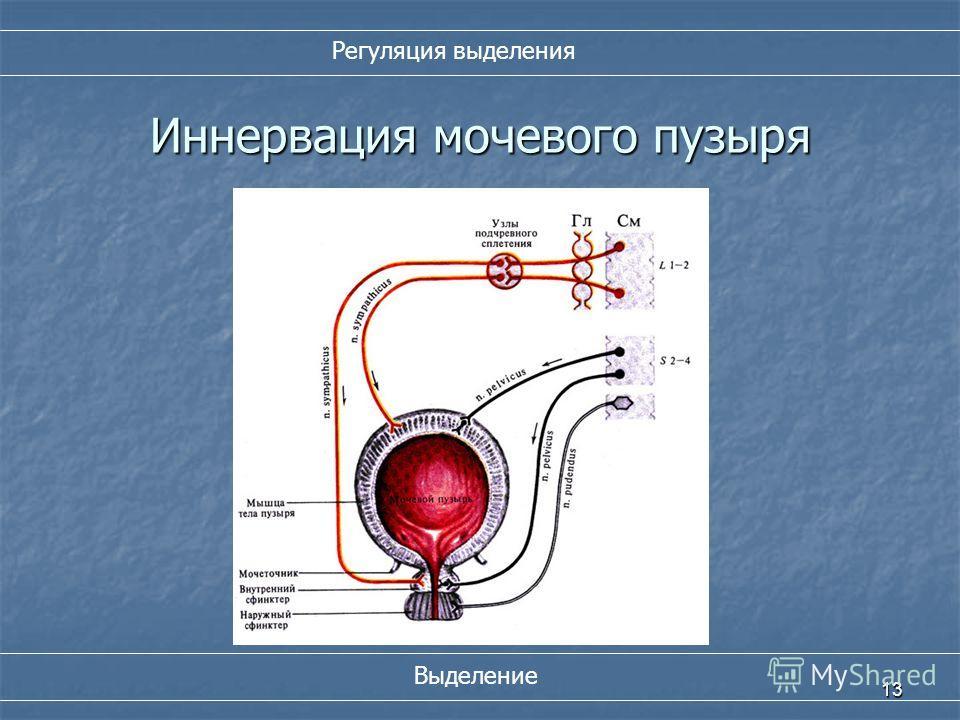 13 Иннервация мочевого пузыря Регуляция выделения Выделение