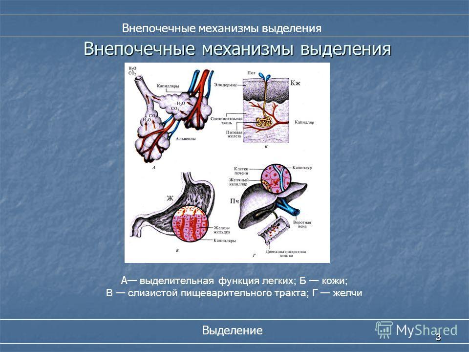Внепочечные механизмы выделения 3 А выделительная функция легких; Б кожи; В слизистой пищеварительного тракта; Г желчи Выделение Внепочечные механизмы выделения