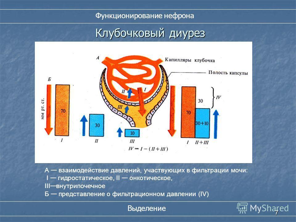 7 Клубочковый диурез А взаимодействие давлений, участвующих в фильтрации мочи: I гидростатическое, II онкотическое, III внутрипочечное Б представление о фильтрационном давлении (IV) Функционирование нефрона Выделение