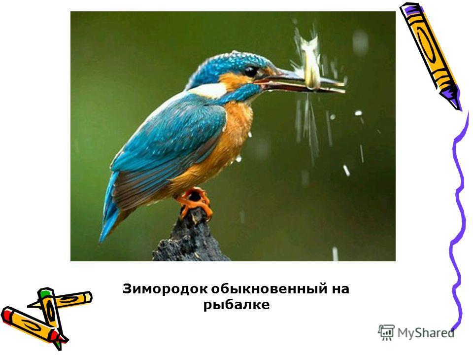 Зимородок обыкновенный на рыбалке