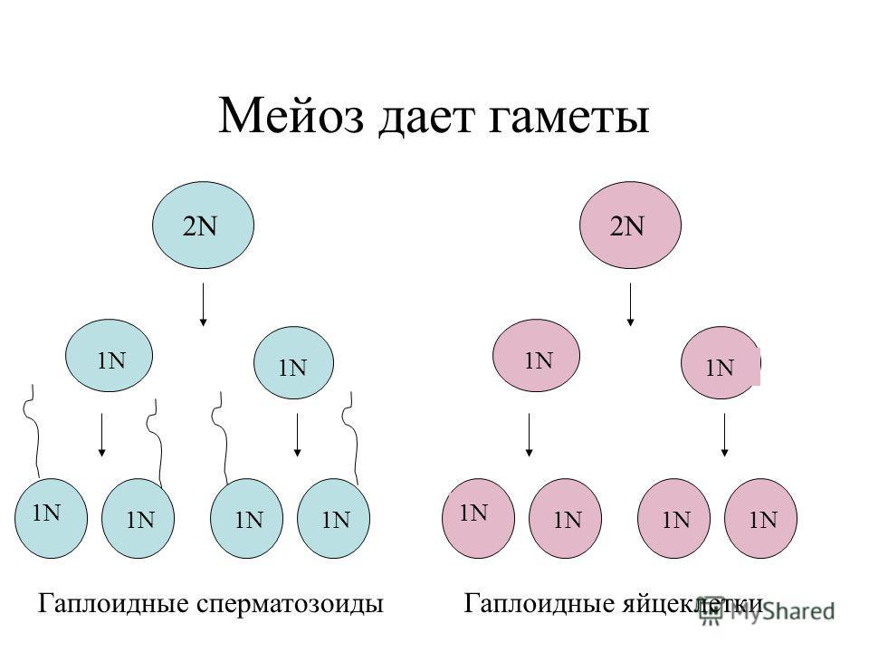 Мейоз дает гаметы 2N 1N 2N 1N Гаплоидные сперматозоидыГаплоидные яйцеклетки