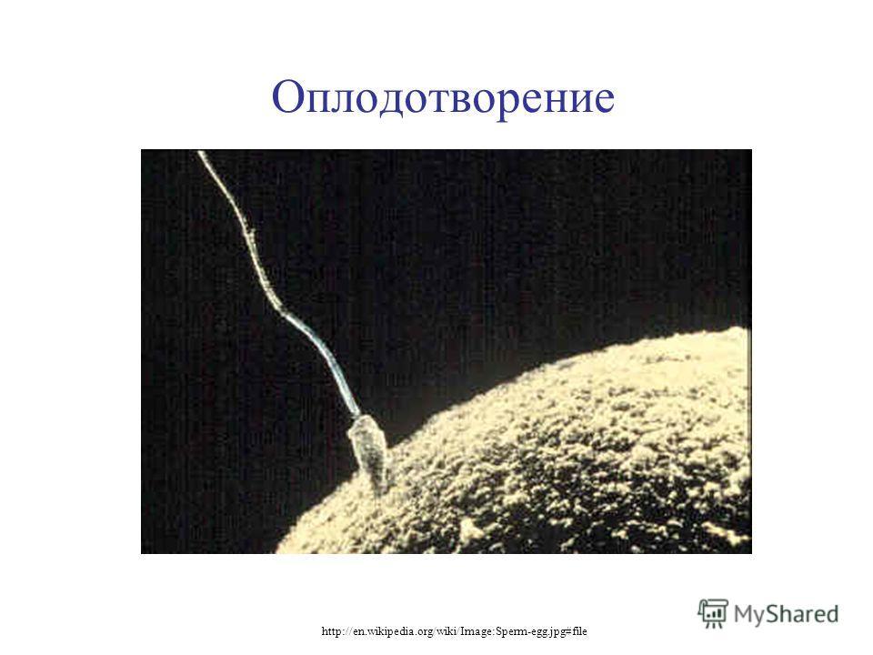 Оплодотворение http://en.wikipedia.org/wiki/Image:Sperm-egg.jpg#file