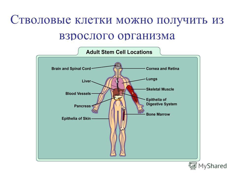 Стволовые клетки можно получить из взрослого организма