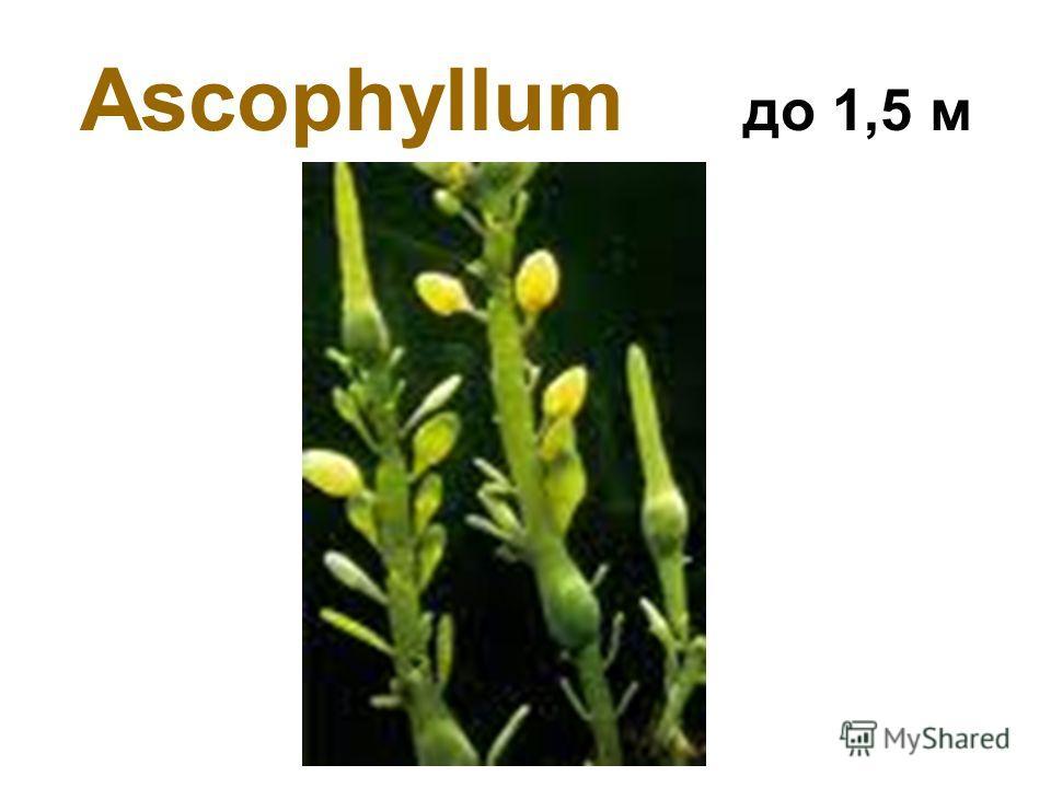 Ascophyllum до 1,5 м