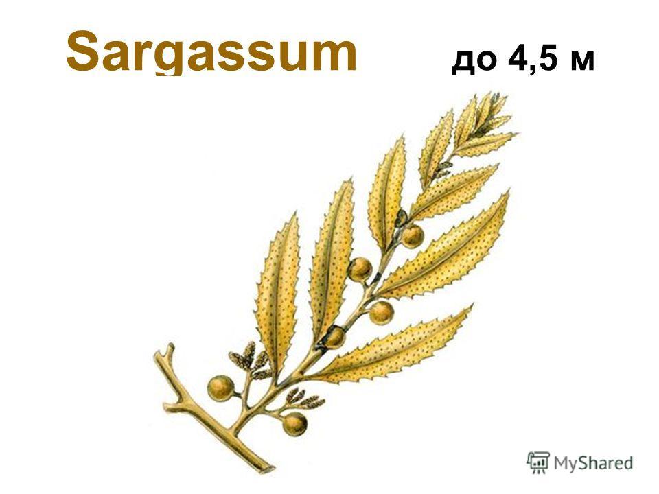 Sargassum до 4,5 м