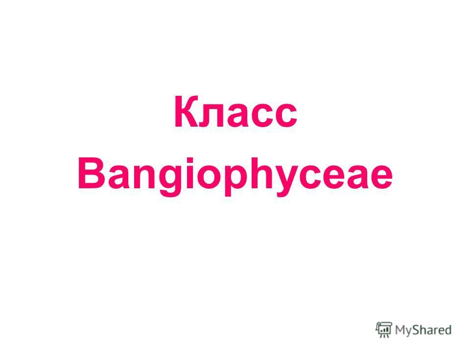 Класс Bangiophyceae