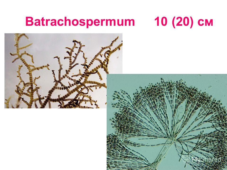 Batrachospermum 10 (20) cм