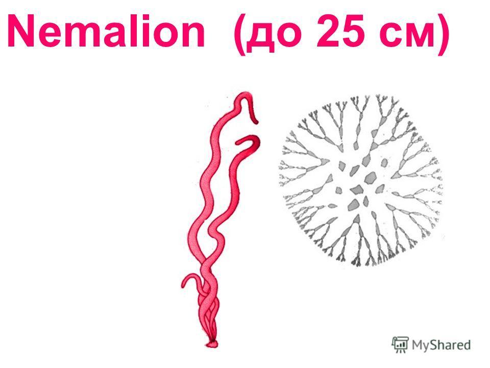 Nemalion (до 25 см)