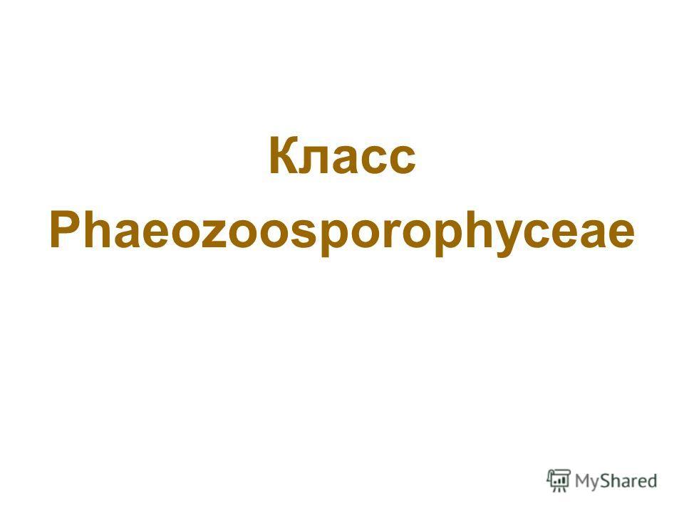 Класс Phaeozoosporophyceae