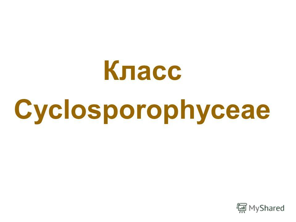 Класс Cyclosporophyceae