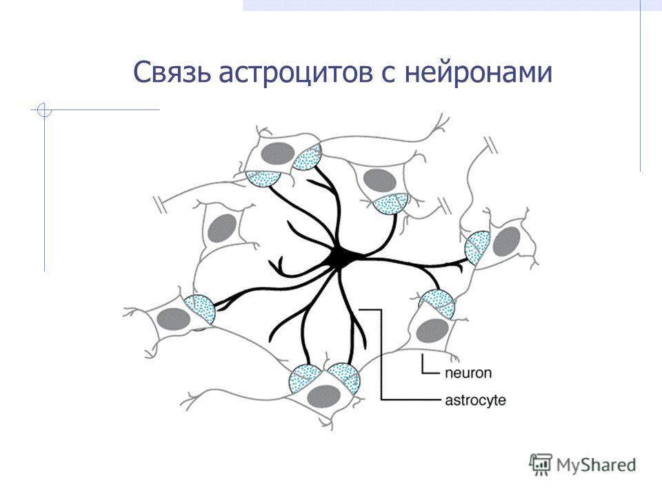 Связь астроцитов с нейронами