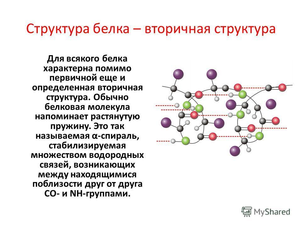 Структура белка – вторичная структура Для всякого белка характерна помимо первичной еще и определенная вторичная структура. Обычно белковая молекула напоминает растянутую пружину. Это так называемая α-спираль, стабилизируемая множеством водородных св