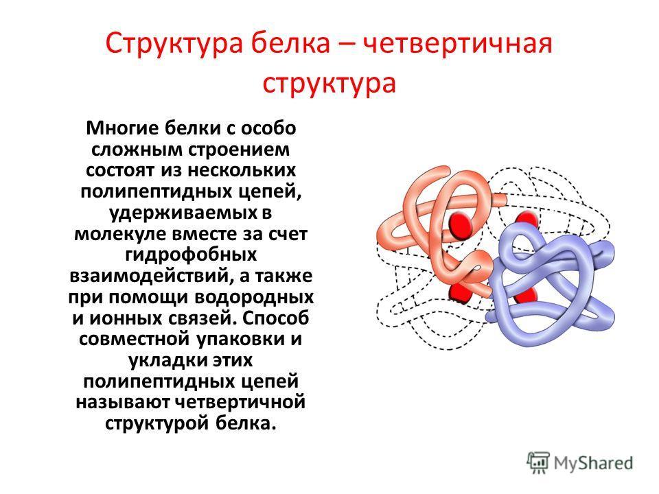 Структура белка – четвертичная структура Многие белки с особо сложным строением состоят из нескольких полипептидных цепей, удерживаемых в молекуле вместе за счет гидрофобных взаимодействий, а также при помощи водородных и ионных связей. Способ совмес