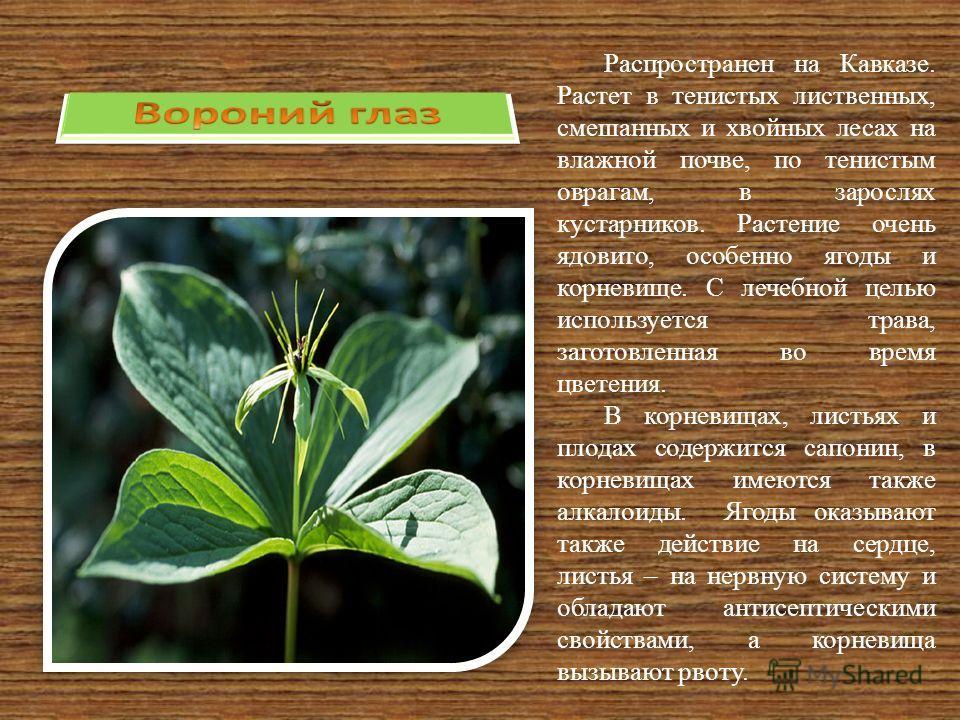 Распространен на Кавказе. Растет в тенистых лиственных, смешанных и хвойных лесах на влажной почве, по тенистым оврагам, в зарослях кустарников. Растение очень ядовито, особенно ягоды и корневище. С лечебной целью используется трава, заготовленная во