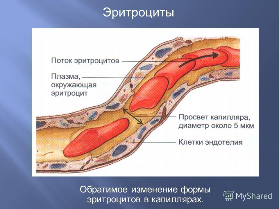 Эритроциты Обратимое изменение формы эритроцитов в капиллярах.