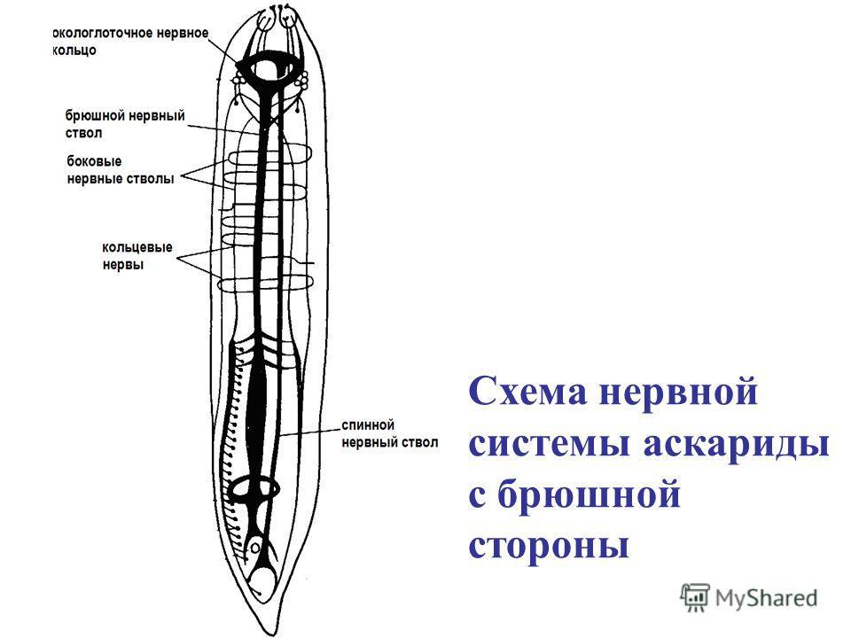 Схема нервной системы аскариды с брюшной стороны