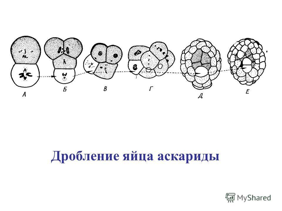 Дробление яйца аскариды