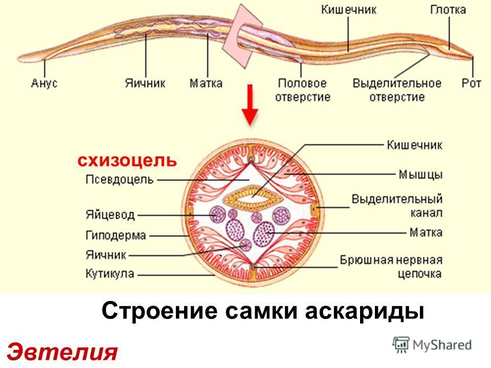 Эвтелия Строение самки аскариды схизоцель