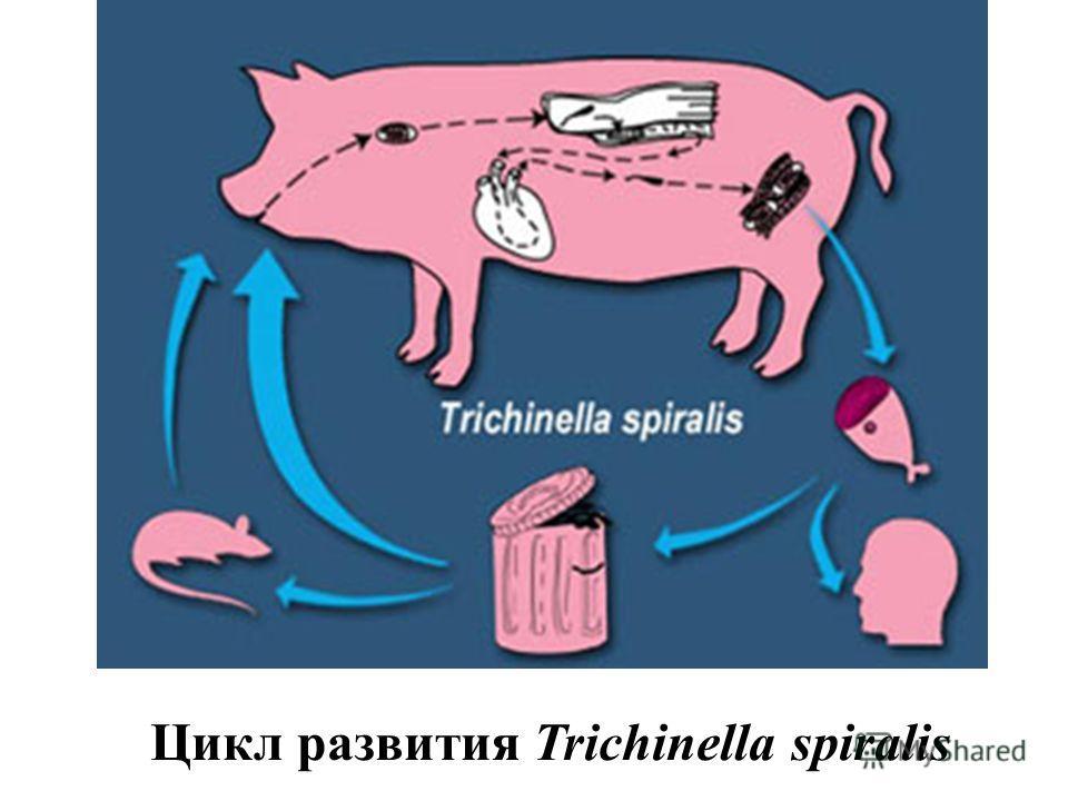 Цикл развития Trichinella spiralis