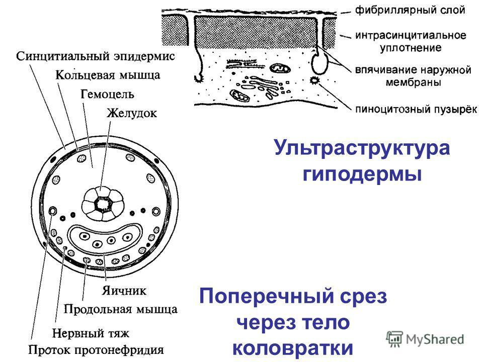 Ультраструктура гиподермы Поперечный срез через тело коловратки
