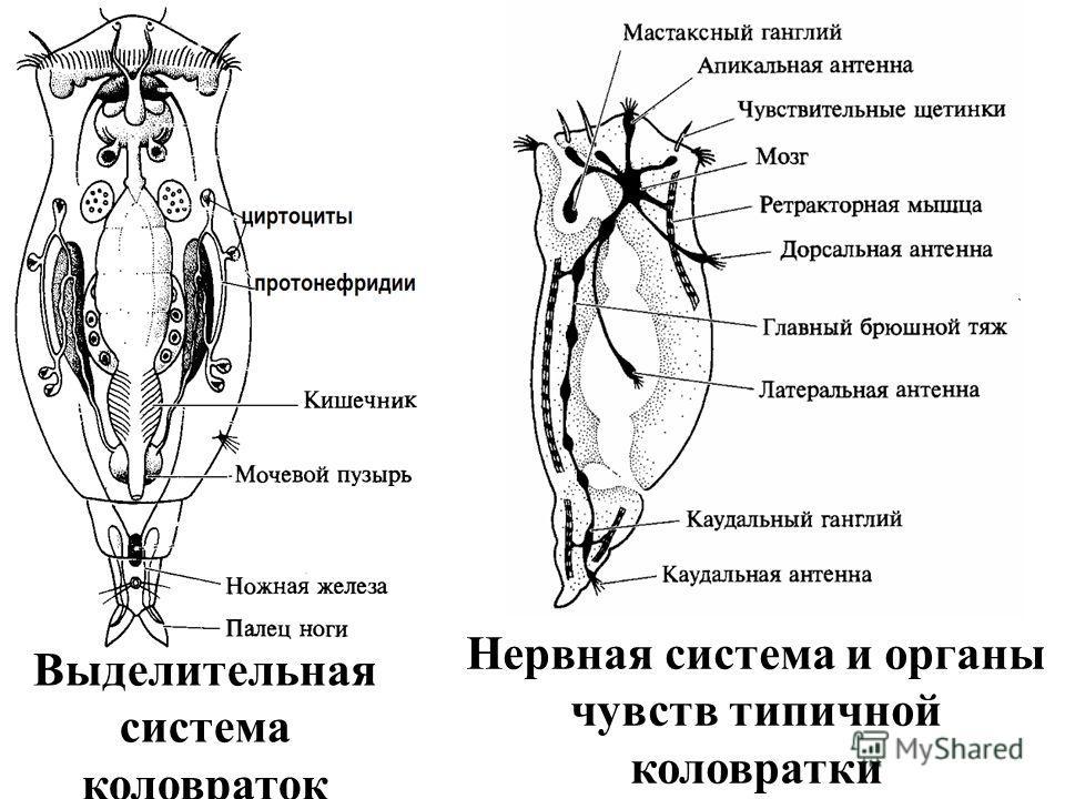 Выделительная система коловраток Нервная система и органы чувств типичной коловратки