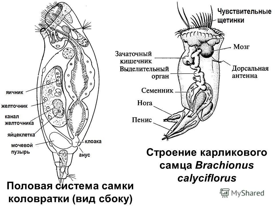 Половая система самки коловратки (вид сбоку) Строение карликового самца Brachionus calyciflorus
