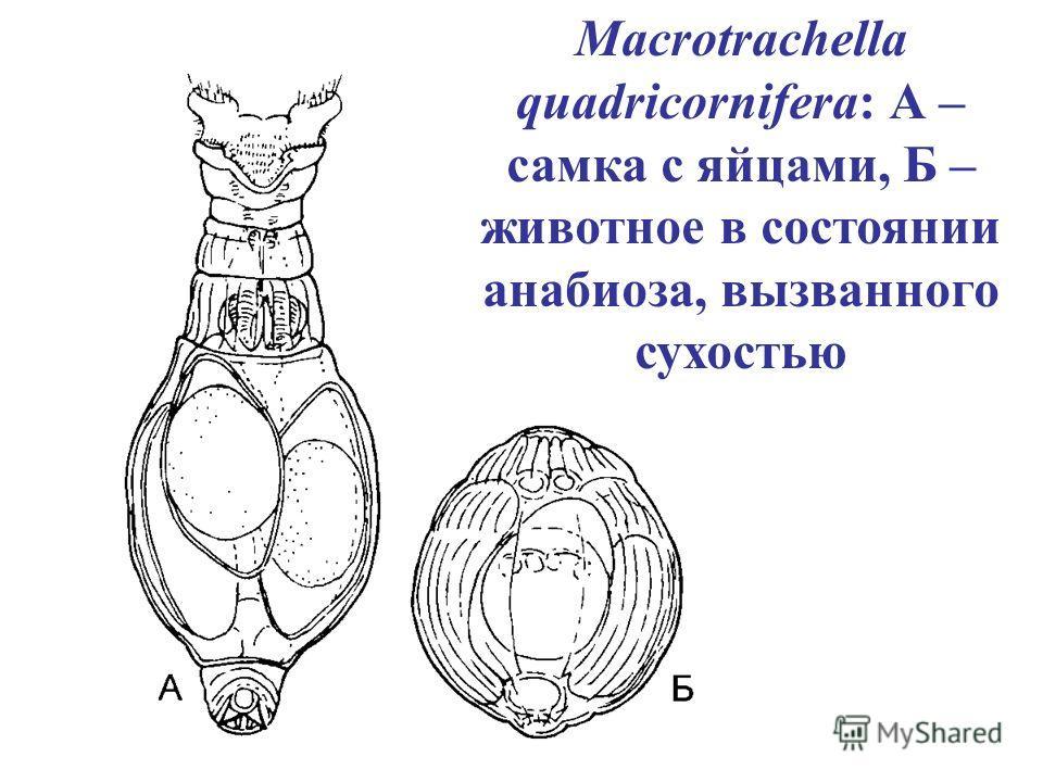 Macrotrachella quadricornifera: А – самка с яйцами, Б – животное в состоянии анабиоза, вызванного сухостью