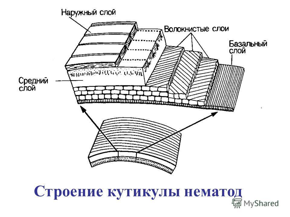 Строение кутикулы нематод