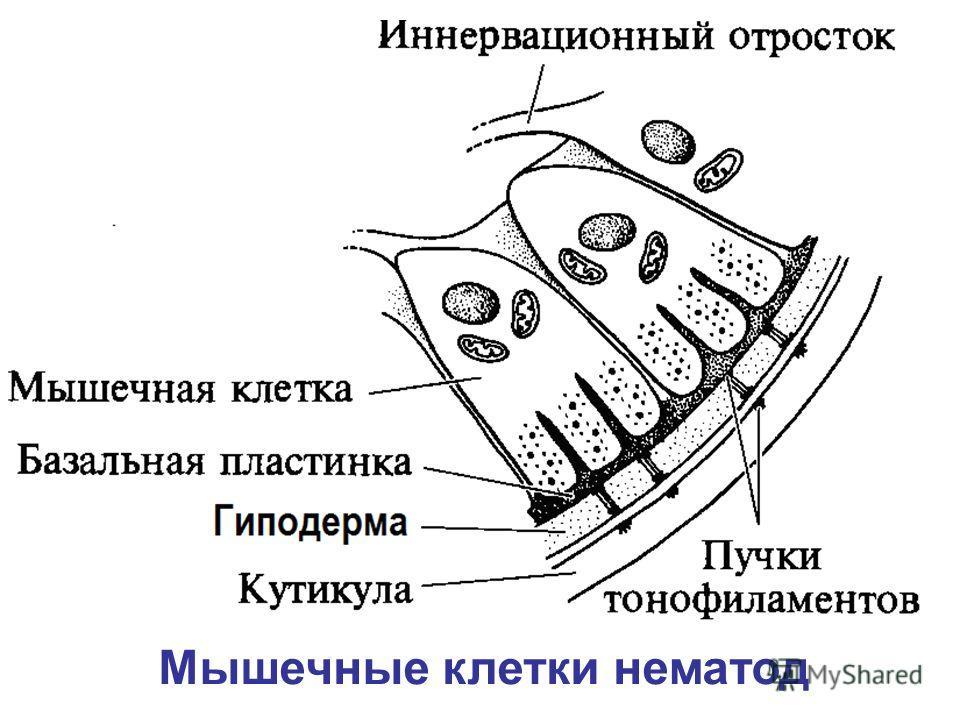 Мышечные клетки нематод