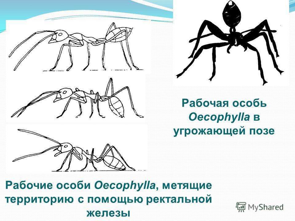 Рабочие особи Oecophylla, метящие территорию с помощью ректальной железы Рабочая особь Oecophylla в угрожающей позе