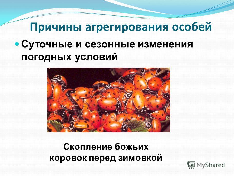 Причины агрегирования особей Суточные и сезонные изменения погодных условий Скопление божьих коровок перед зимовкой