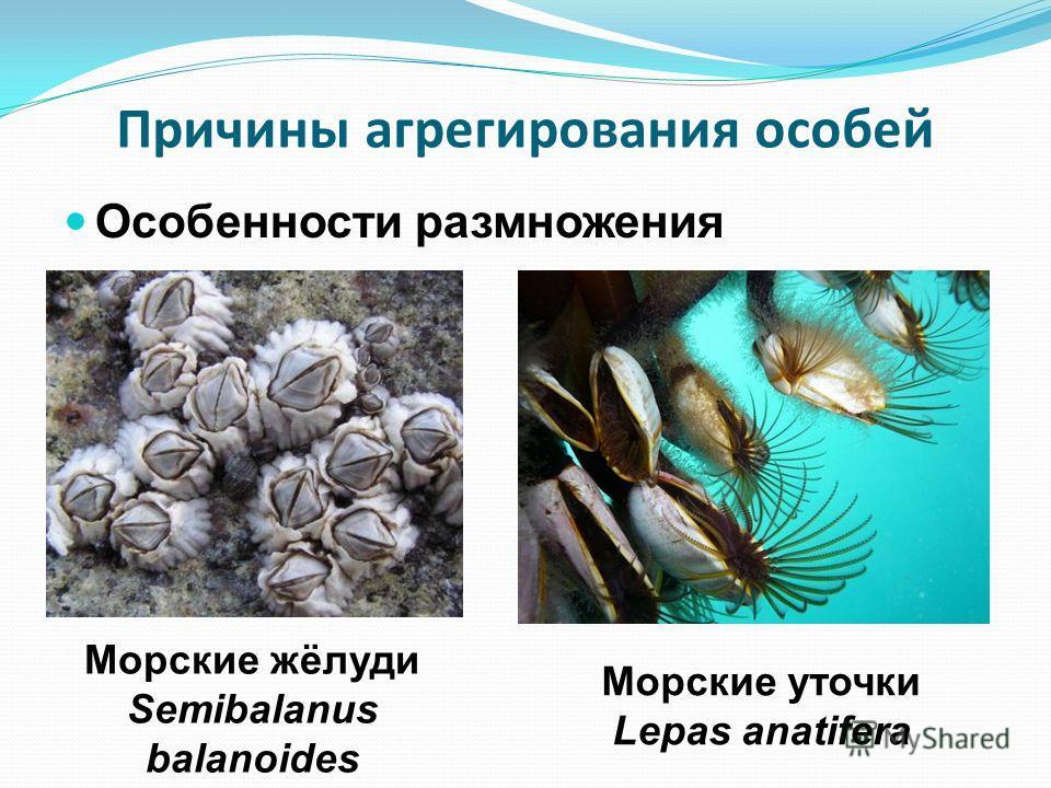 Причины агрегирования особей Особенности размножения Морские жёлуди Semibalanus balanoides Морские уточки Lepas anatifera