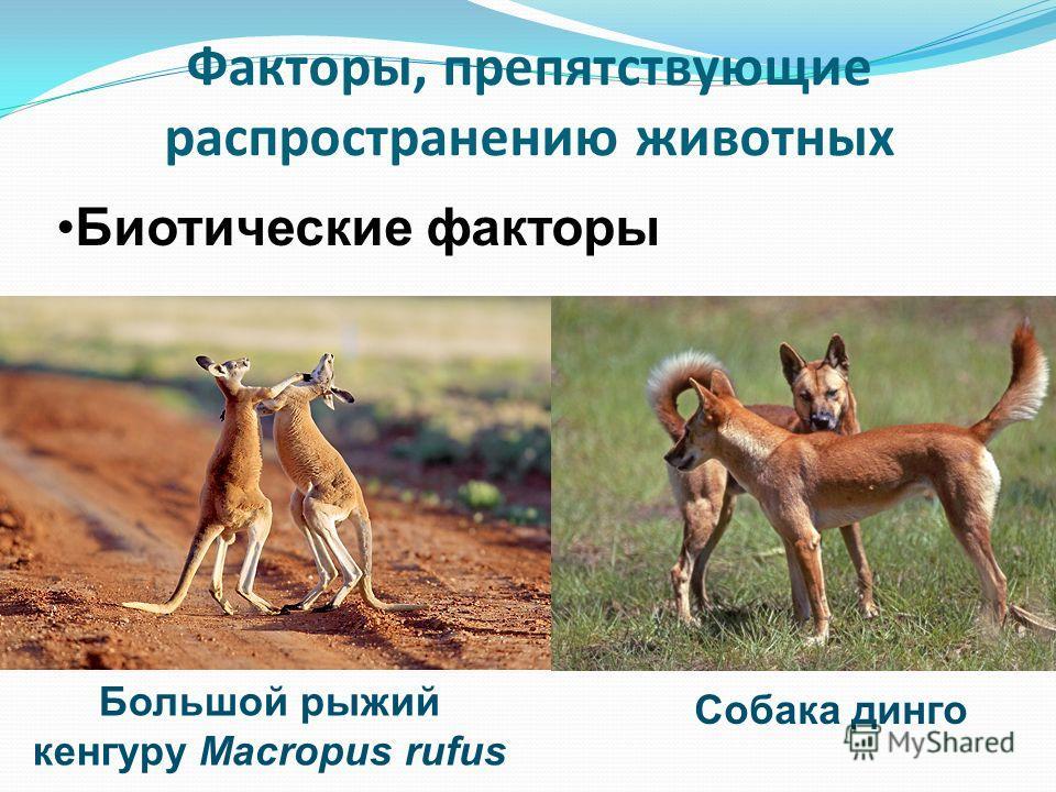Факторы, препятствующие распространению животных Биотические факторы Большой рыжий кенгуру Macropus rufus Собака динго