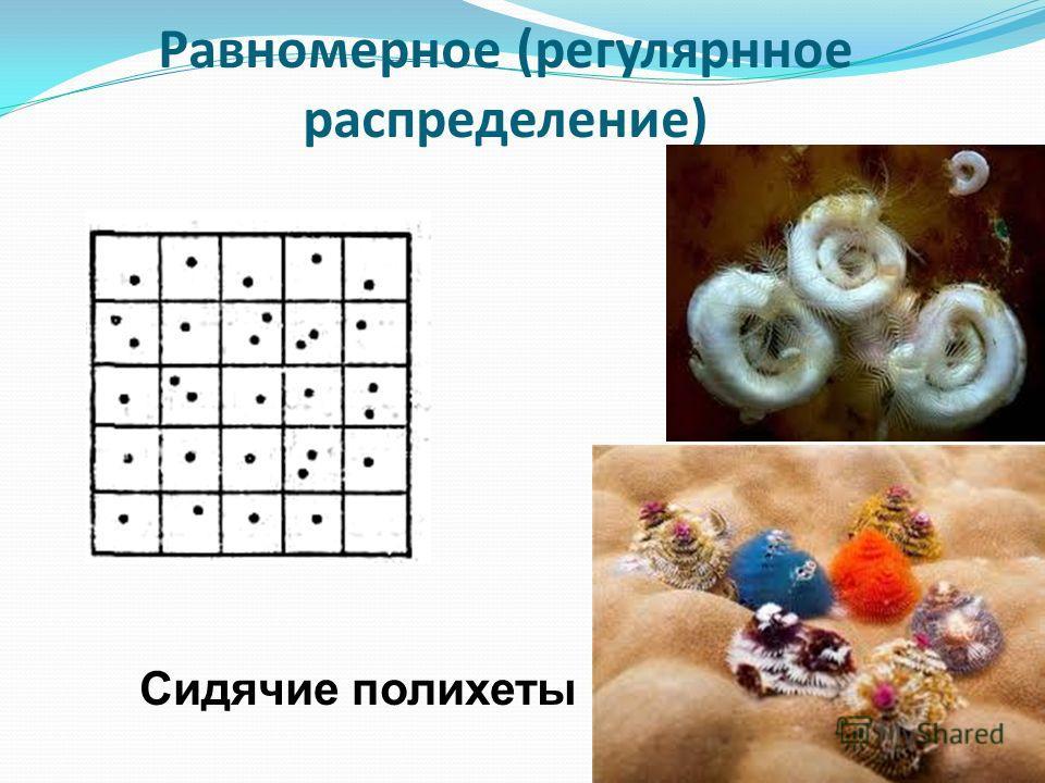Равномерное (регулярнное распределение) Сидячие полихеты